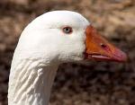 goose-head